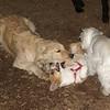 Joey (pup, 1st time), Hazel (pup)_13