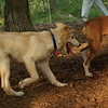LUCAS (collie puppy)_1