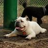SPOT (bulldog)_4