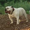 SPOT (bulldog)_1