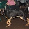 SAMMY (coon hound pup)_1