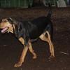 SAMMY (coon hound pup)_2