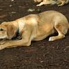 IZZY 3 (puppy)_1