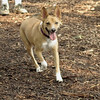 JOEY (dingoesque boy)_1
