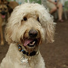 BAILEY (goldendoodle)_17