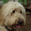 BAILEY (goldendoodle)_12