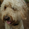 BAILEY (goldendoodle)_10