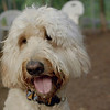 BAILEY (goldendoodle)_24