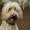 BAILEY (goldendoodle)_16