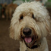 BAILEY (goldendoodle)_14
