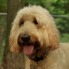 BAILEY (goldendoodle)_8