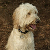 BAILEY (goldendoodle)_7