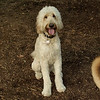 BAILEY (goldendoodle)_6