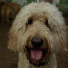 BAILEY (goldendoodle)_15