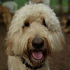 BAILEY (goldendoodle)_13