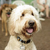 BAILEY (goldendoodle)_19