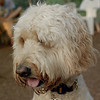 BAILEY (goldendoodle)_25