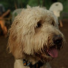 BAILEY (goldendoodle)_26