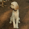 BAILEY (goldendoodle)_3