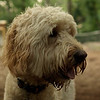 BAILEY (goldendoodle)_9