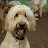 BAILEY (goldendoodle)_18