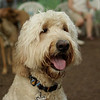BAILEY (goldendoodle)_21