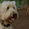 BAILEY (goldendoodle)_22