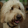 BAILEY (goldendoodle)_11