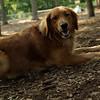 SHEILA (golden retriever, 2yr)_1