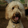 BAILEY (goldendoodle)_27