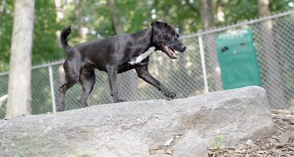 FAITH (patterdale terrier)_2