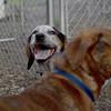 LULU (hound pup)_6