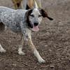 LULU (hound pup)_7
