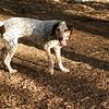 LULU (hound pup)_1
