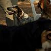 LULU (hound pup)_4