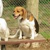Chelsea (beagle)_3