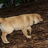 ELLIE (NEW, golden PUPPY)_6
