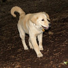 ELLIE (NEW, golden PUPPY)_8
