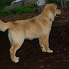 ELLIE (NEW, golden PUPPY)_11