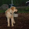 ELLIE (NEW, golden PUPPY)_12
