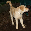 ELLIE (NEW, golden PUPPY)_7