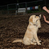 ELLIE (NEW, golden PUPPY)_4