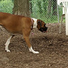 Beethoven, Lily (boxer)_1