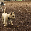 Buddy (cairn), Trixie ( new)_1