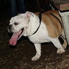 Buddy (buldog pup)_1