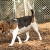 Chelsea (beagle)_2