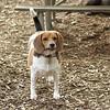 Chelsea (beagle)_1