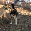 Charlie (dingo), Maddie, chloe_1