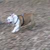 BUDDY (bulldog pup)_2