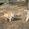 BUDDY (bulldog pup) & POODLES_4